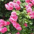 Розы во дворе Екатерины Васильевны!